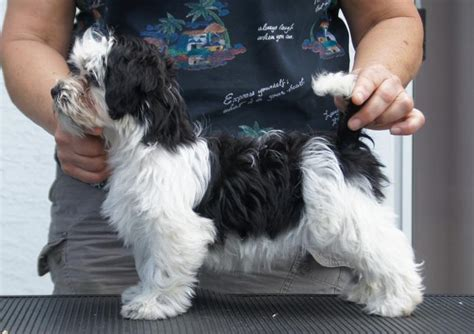 black and white havanese the gallery for gt black and white havanese grown