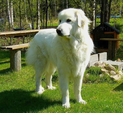 great pyrenees haircuts how should a great pyrenees haircut 14 scary looking dog