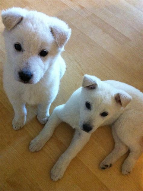 jindo puppies korean jindo puppies animals dogs and puppys