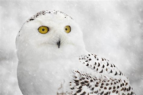 white owl home decor snowy owl fine art bird photography home decor art print