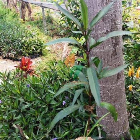 Tanaman Hias Ruellia jual bibit bunga tegak ruellia ungu agro bibit id
