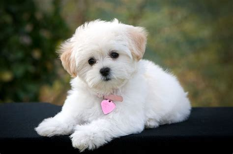 maltese poodle lifespan 10 amazing things about maltese dogs maltese facts
