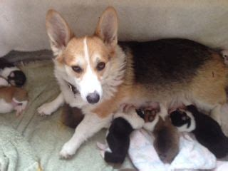 corgi puppies for sale los angeles corgi puppies for sale