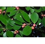 �ộng Thực Vật Việt Nam Ficus Chi Sung