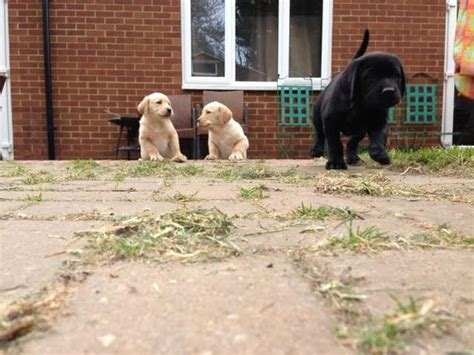 labrottie puppies for sale last litter of labrottie pups for sale st albans hertfordshire pets4homes