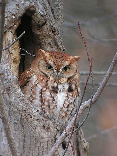 Screech Owl Po Archives - naturally new june 2011