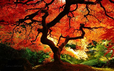 pretty trees beautiful autumn tree autumn splendor pinterest