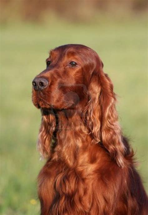 irish setter girl dog names 58 best images about irish setter dog art portraits
