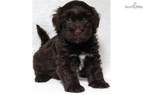 chocolate havanese puppies for sale in ohio meet kyle a havanese puppy for sale for 950 kyle adorable akc chocolate