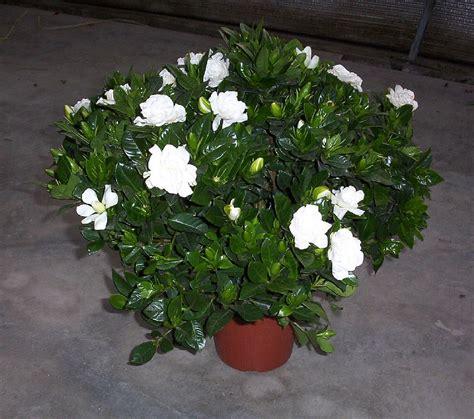 plants flowers gardenia jasminoides