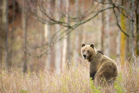 brown bear brown bear 0241137292 wild brown bears may 2016 tatra photography