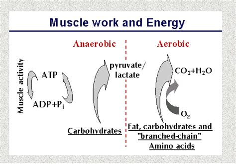 carbohydrates in energy production work and energy in muscles