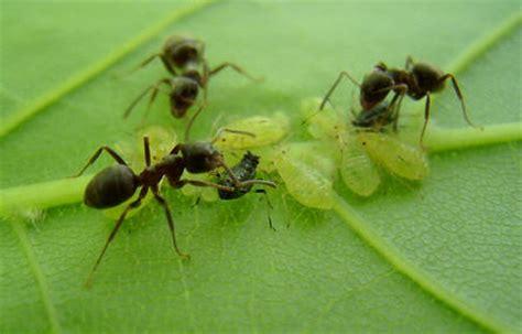 tuin een grote mieren nest mieren bestrijden met poeder of stuifpoeder mieren