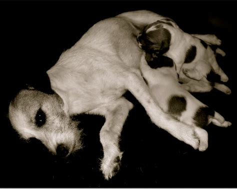 colostrum for dogs how colostrum gives puppies a start discoveries