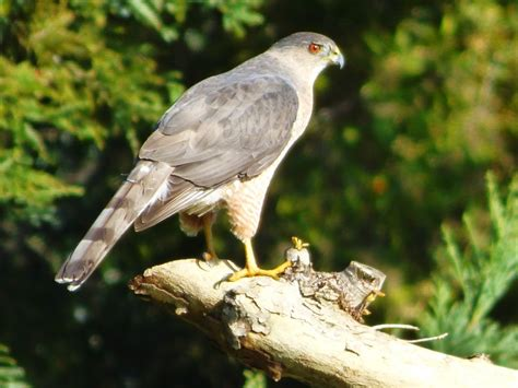 geotripper s california birds cooper s hawk near dry