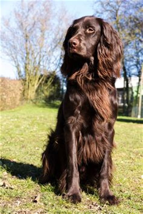 german longhaired pointer puppies rds 95 german longhaired pointer puppies my show german