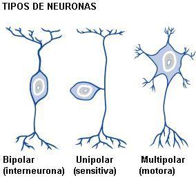 imagenes de neuronas sensoriales neurona anatomia mimi