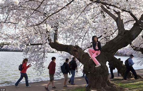 cherry tree 10 miler washington dc cherry blossoms hit peak bloom in washington d c daily mail