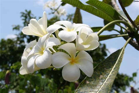 immagini di fiori bianchi fiori bianchi