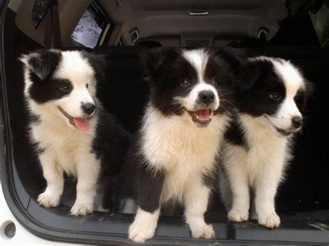 border doodle puppies for sale australia 25 best regalo cachorros ideas on cachorros