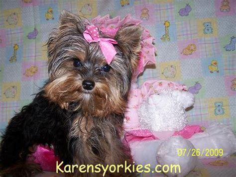 teacup yorkies for sale in va karens yorkies yorkie puppies for sale yorky breeder has many yorky puppies yorkie