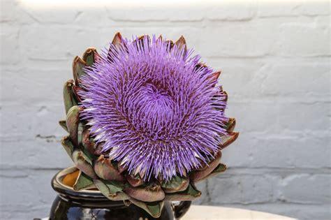 carciofo fiore carciofo un quot fiore quot tutto da amare