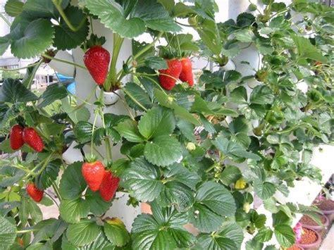 coltivare fragole in casa giardino notizie it