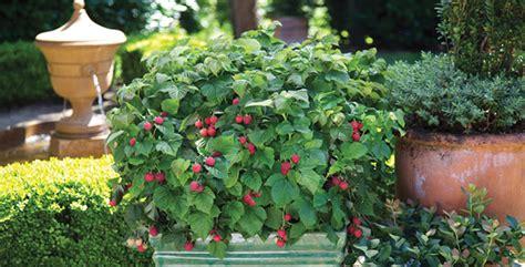 coltivare in vaso come coltivare loni in vaso e a terra tuttogreen