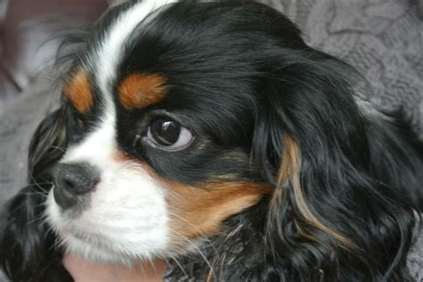 Charles And Ceits cavalier king charles spaniel and cats 6 widescreen