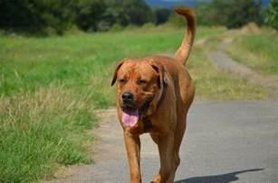 american pitbull terrier x french bulldog lotte bordeauxdogge rottweiler mischling mix