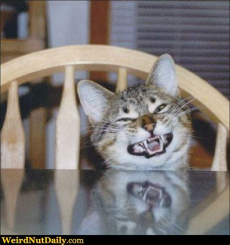 Cat Sitting At Table Meme - funny pictures weirdnutdaily cats pictures weird nut