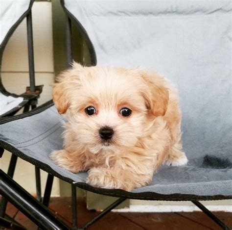 maltipoo puppies for sale los angeles view ad maltipoo puppy for sale california los angeles usa