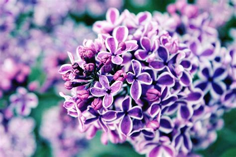 lilac flower meaning lilac meaning and symbolism ftd