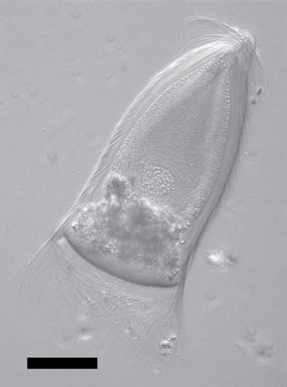 trichonympha wikipedia