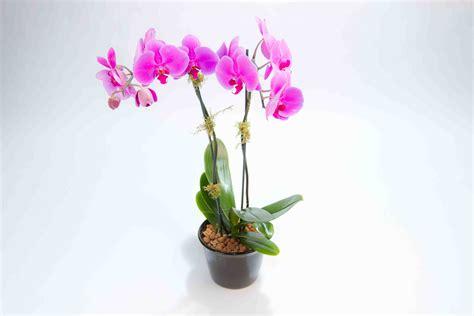 mini phalaenopsis orchid stem jacobsen s
