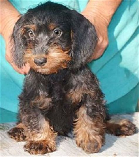 Datsun Puppies by 21 Poodle Cross Breeds You To See To Believe