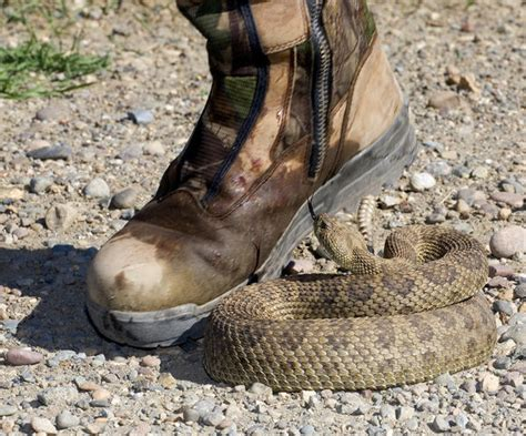bit by rattlesnake lessons from a snake bite survivor saving info the nature tour
