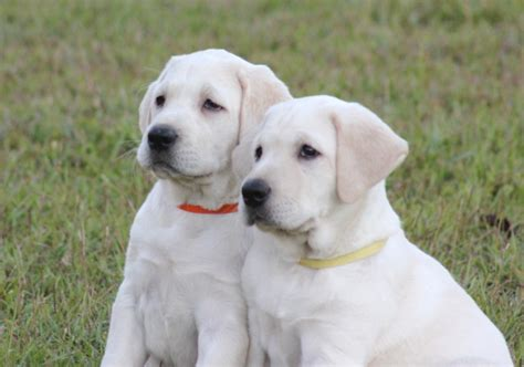 white lab puppies for sale near me premier quality pups labrador retriever s puppies