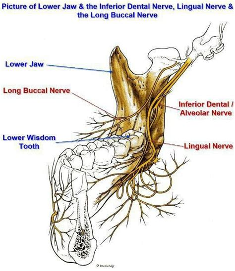 dental hygienists often rely on the traditional inferior alveolar
