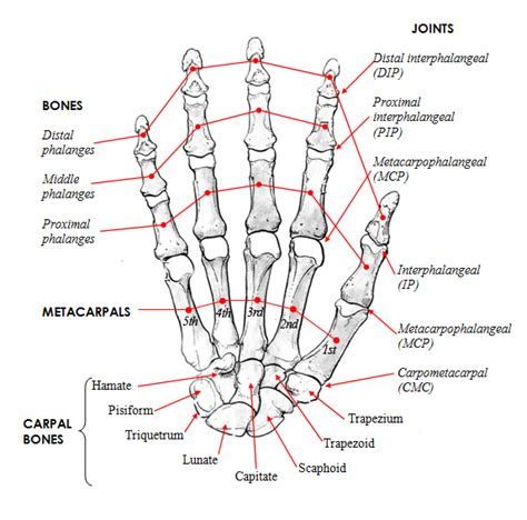 diagram of joints in the human anatomy bone anatomy human diagram