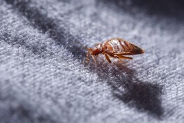 signs that you have bed bugs how do you know if you have bedbugs reader s digest