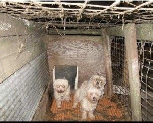 puppy mills in iowa 276 best images about rescue my favorite breed on adoption volunteers
