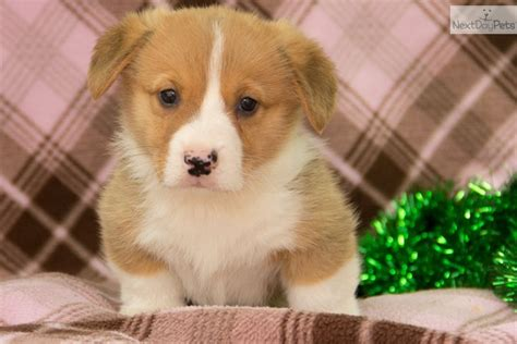 corgi puppies dallas meet dallas a corgi pembroke puppy for sale for 795 dallas 795