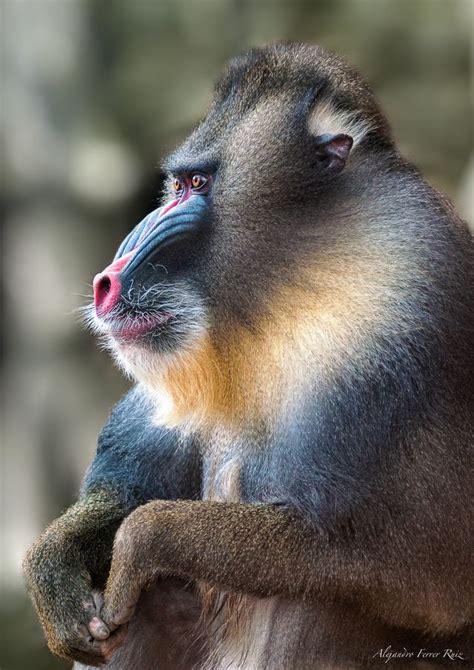 baboonmandrill images  pinterest monkeys animales  wild animals