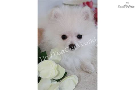 baby white teacup pomeranian pomeranian clip book covers