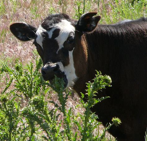 eats marijuana is teaching cows to eat weeds a beneficial technique 171 on pasture