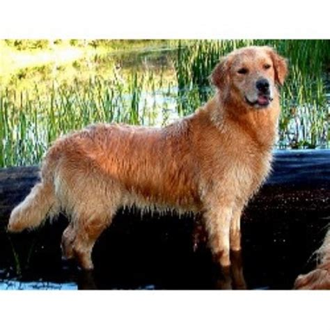 golden retriever breeders pennsylvania golden retriever breeders in pennsylvania freedoglistings