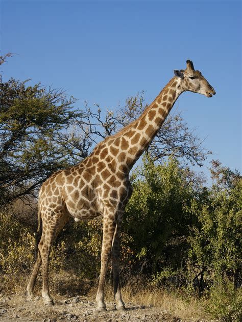 libro the giraffe that ate what eats a giraffe