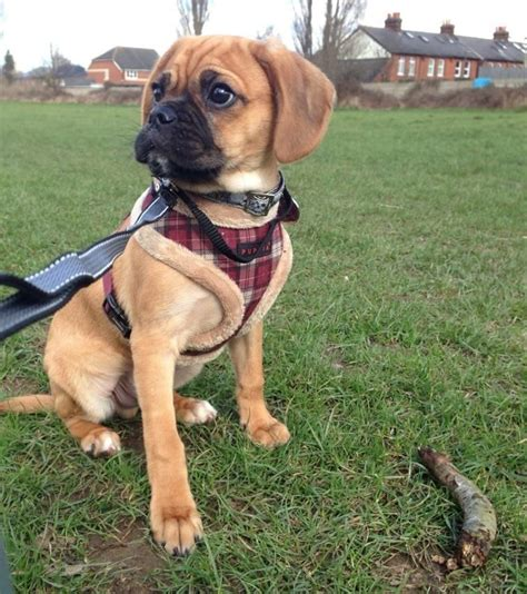 puggle puppy for sale stunning puggle puppy for sale epsom surrey pets4homes
