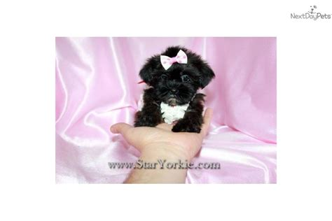yorkie poo los angeles yorkie poo for sale in los angeles breeds picture